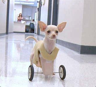 Kursi Roda Anjing chihuahua 2 kaki mendapat kaki roda berita tentang