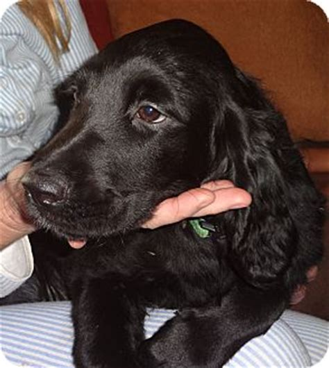 golden retriever puppies for adoption in california sparkle adopted puppy nuevo ca golden retriever
