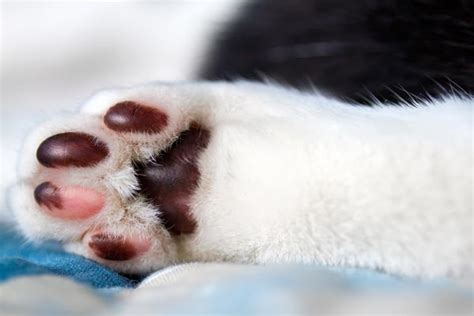 paw pads 9 interesting facts about cat paws catster