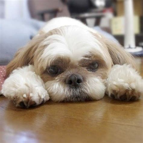 shih tzu tears 20 things all shih tzu owners must never forget the last one brought me to tears