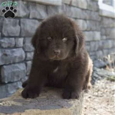 sugarcreek puppies newfoundland puppies for sale in pa