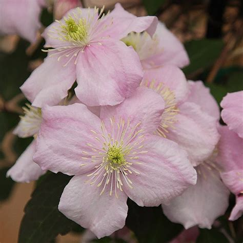 easy climbing plants clematis montana an easy care clematis nurseries