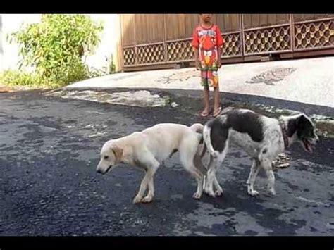 dogs stuck together 187 hondenpension op en