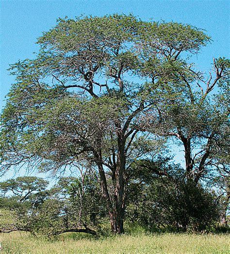 Knob Acacia by Knob Tree Acacia Nigrescens South Africa