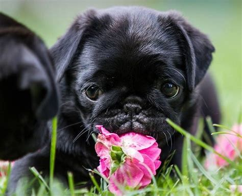 black pug puppie black pug puppy puppys black pug puppies and black