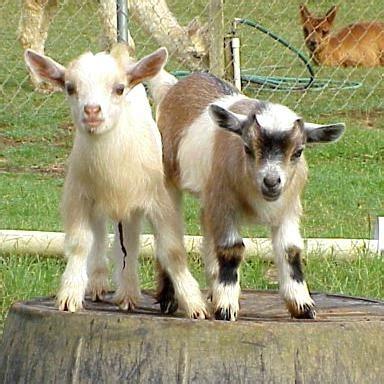 quali sono gli animali da cortile caprette nane pecore e capre