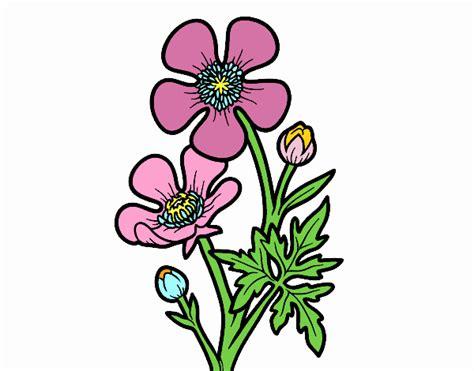 ranuncolo fiore disegno fiore ranuncolo colorato da utente non registrato