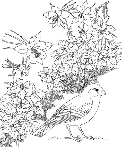 coloring pages of state birds and flowers free printable coloring page colorado state bird and