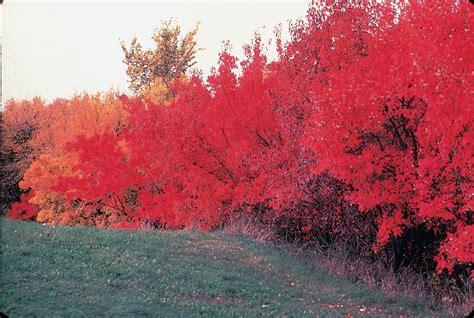 maple tree usda large image for acer ginnala amur maple usda plants