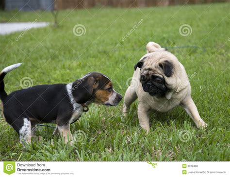 pugs and beagles pug and beagle royalty free stock photos image 8970488
