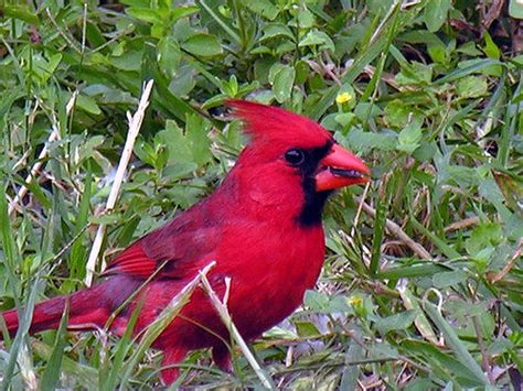 cardinal male with sunflower seed del rio val verde