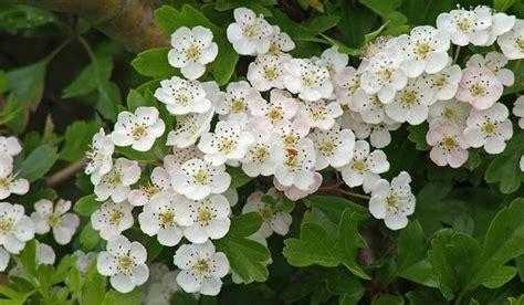 biancospino fiori biancospino piante da giardino come coltivare il