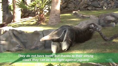 anteaters eat youtube