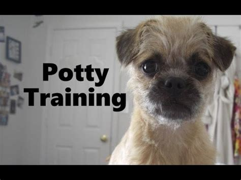 dog house training methods how to potty train a pugapoo puppy pugapoo house training tips housebreaking pugapoo puppies