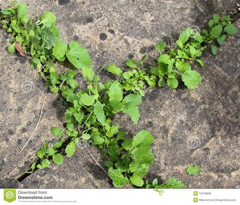 How To Remove Weeds Between Patio Stones by Weeds Between Paving Stones Stock Photo Image 14110830