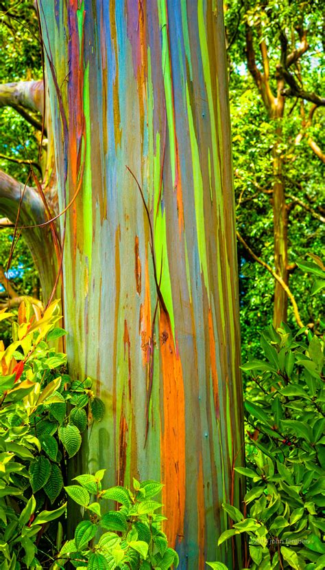 rainbow trees maui john ferebee photo