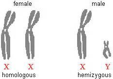 DNA: Chromosomes Y Chromosome Sperm