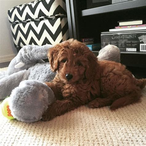 goldendoodle puppy toys 25 best ideas about goldendoodle on