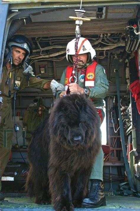 Newfoundland Search Newfoundland Dogs Are Often Used In Search And Rescue Work They