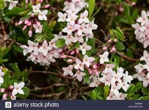 fragrant flowers of the evergreen spring flowering shrub daphne x stock photo royalty free