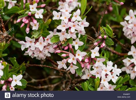 fragrant white flowering shrub identification pictures to pin on pinterest pinsdaddy