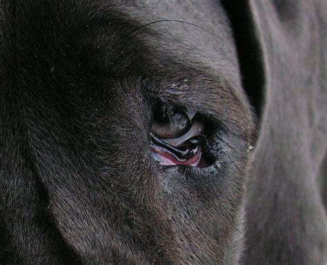 with cherry eye cherry eye eye problems great dane owners forum