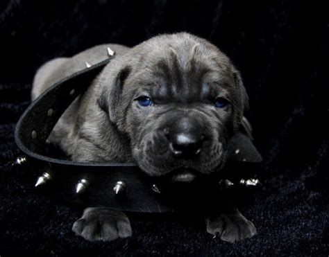 blue corso puppies best 25 blue corso ideas on italian corso italian mastiff