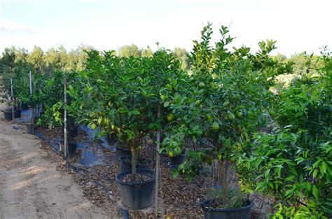 concimazione limone in vaso piante di agrumi agrumi in vaso albero di chinotto