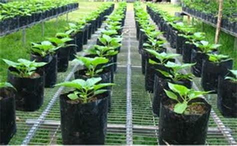 Jual Bibit Cabe Rawit Warna Warni cara menanam cabe tanamanbaru