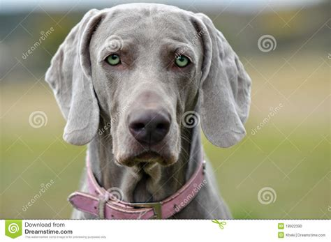 gray dogs beautiful grey you stock photo image 18922390