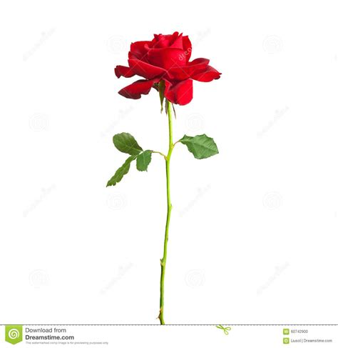 long stem red rose stock photo image 60742900