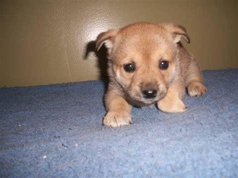 shiba inu pug mix shiba inu pug puppies for sale adoption from newmarket ontario york adpost