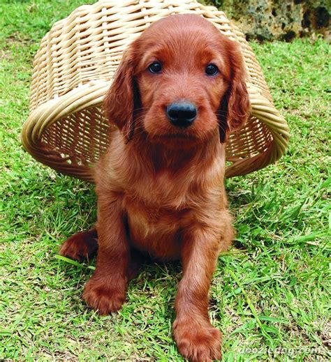 irish setter dog hiking 29 best apartment dogs for small spaces irish setter
