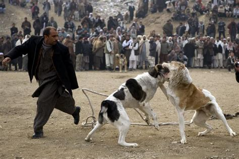 afghan breed afghan fighting breed