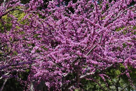 top flowering trees for texas early spring bloomers for dallas and texas landscapes