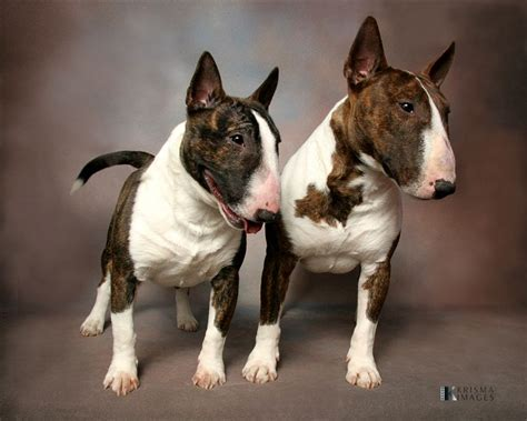 mini bull terrier puppies miniature bull terrier