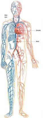 Esquema sistema circulatorio sin nombres color picture