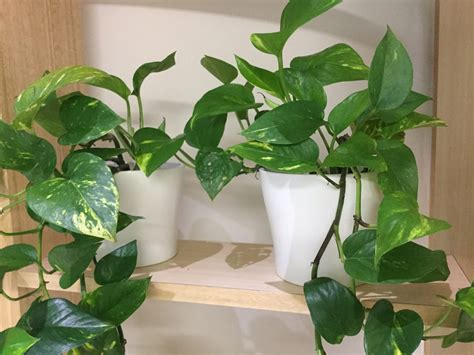 pothos devils ivy