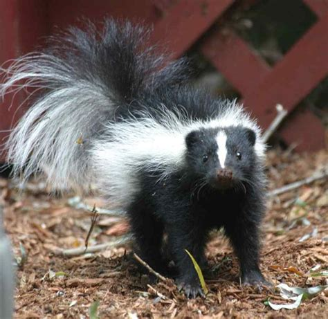 remedy for skunk smell helpful household things 4