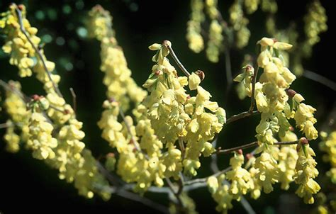 shrubs that flower in winter black gold fragrant winter flowering shrubs black gold
