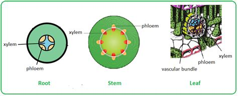 transverse section of xylem and phloem 60 distribution of xylem and phloem in roots stems and