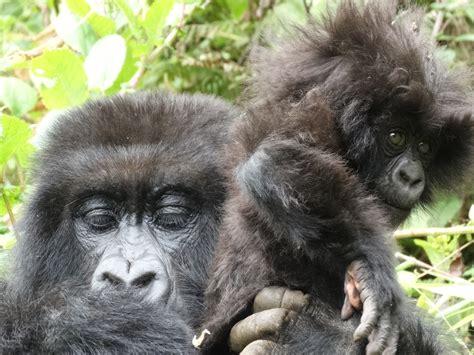 Gorilla - Eastern Gorilla Information for Kids