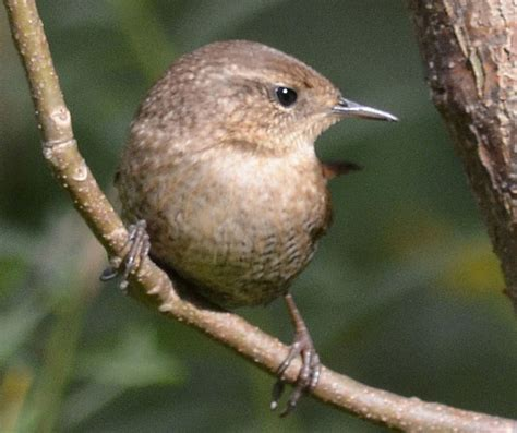 what small chunky brown birds hold their tails up straight
