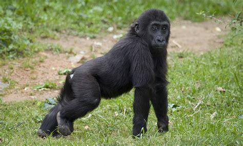 Western lowland gorilla   Smithsonian's National Zoo