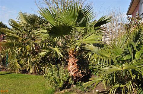 Winterharte Palmen Für Den Garten 3 by Winterharte Palmen F 252 R Den Garten 5 Washingtonia Palmen