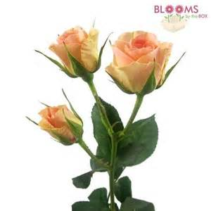 wholesale spray rose peach 50 cm blooms by the box