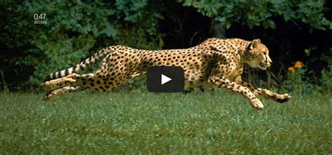 fastest dogs cheetah vs greyhound world s fastest in motion animal stories