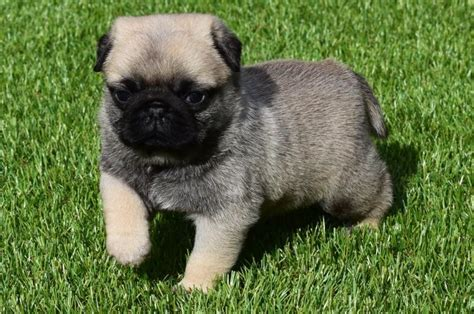 pug breed price pug pug puppies ready for adoption dogs buy or for sale price