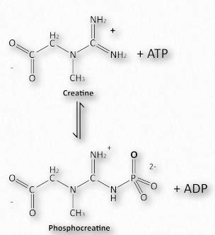 creatine phosphate functions in the cell by 2 5 structure and function protein function ii biology