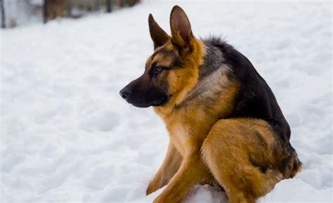how many puppies can a german shepherd this hunchbacked german shepherd move outdoorhub